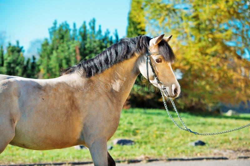Portrait d'effrayer le poney de gallois de lumière-peau de daim photo libre de droits