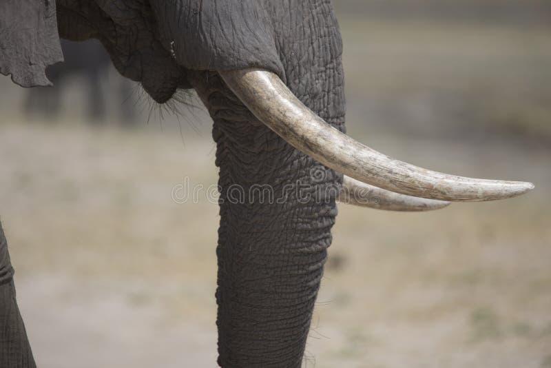 Portrait d'elephantbull gratuit sauvage image stock