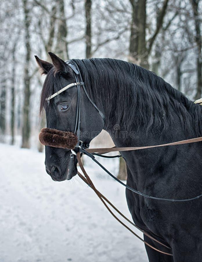 Portrait d'hiver d'un cheval photos stock