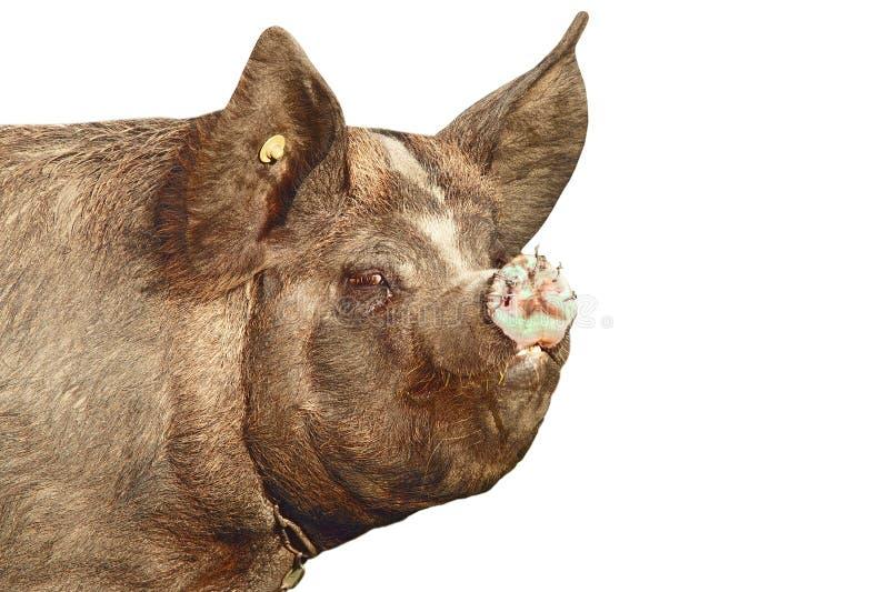 Portrait d'isolement d'un porc sale photographie stock libre de droits