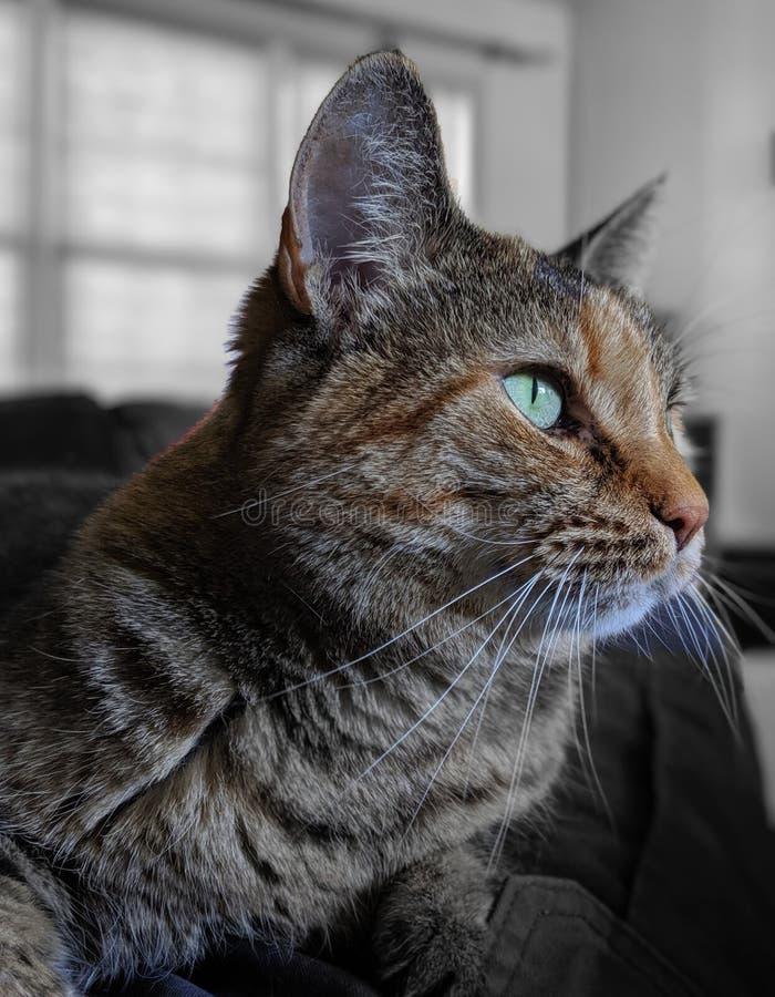 Portrait d'isolement par chat domestique de torbie Orientation s?lectrice et couleur photo stock