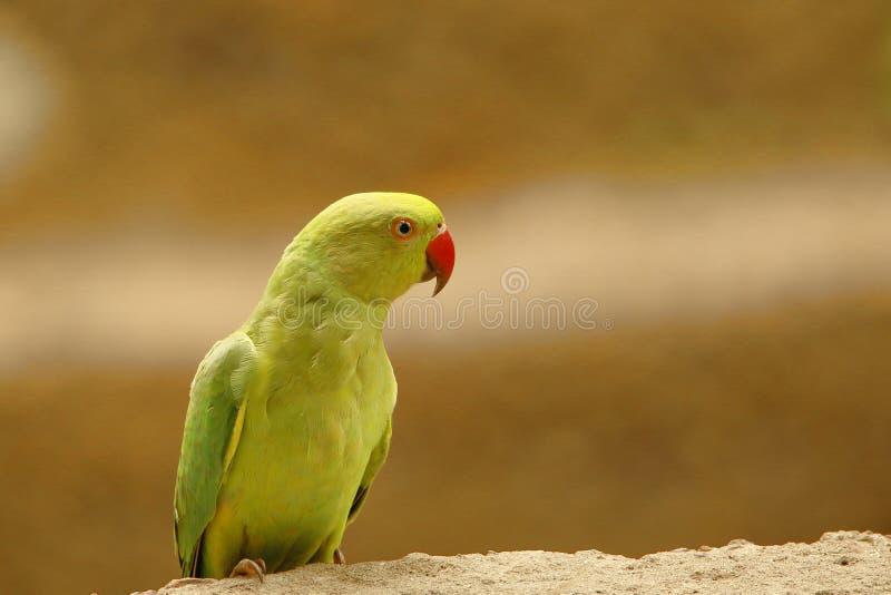 Portrait d'oiseau de perot images stock