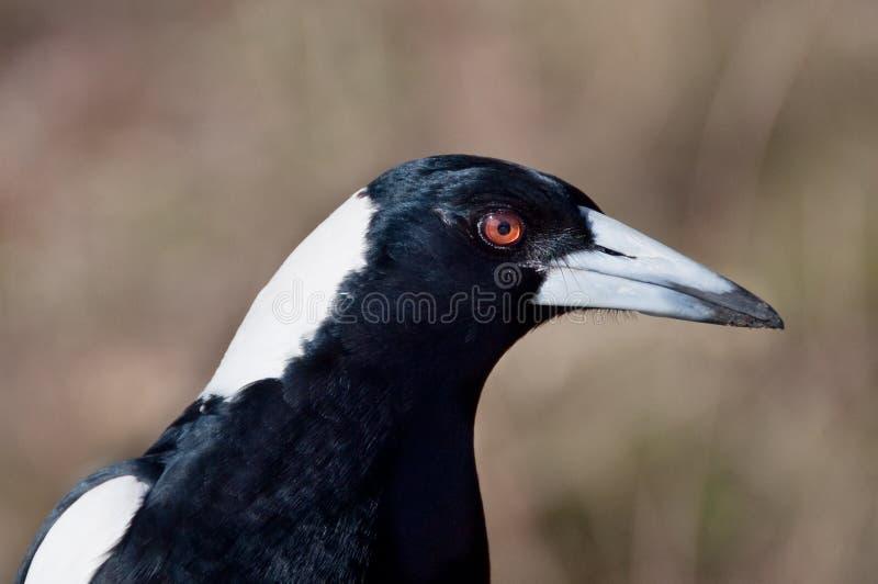 Portrait d'oiseau sauvage de pie Fin vers le haut images stock