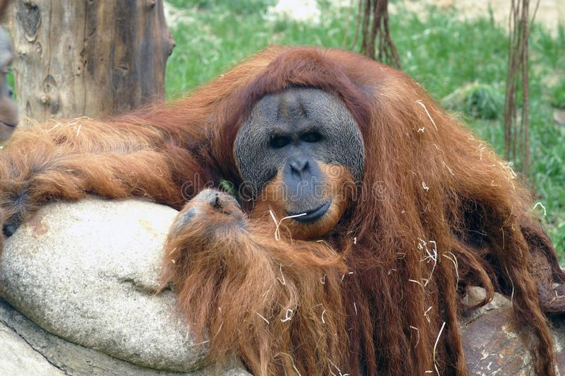 Portrait d'orang-outan images libres de droits