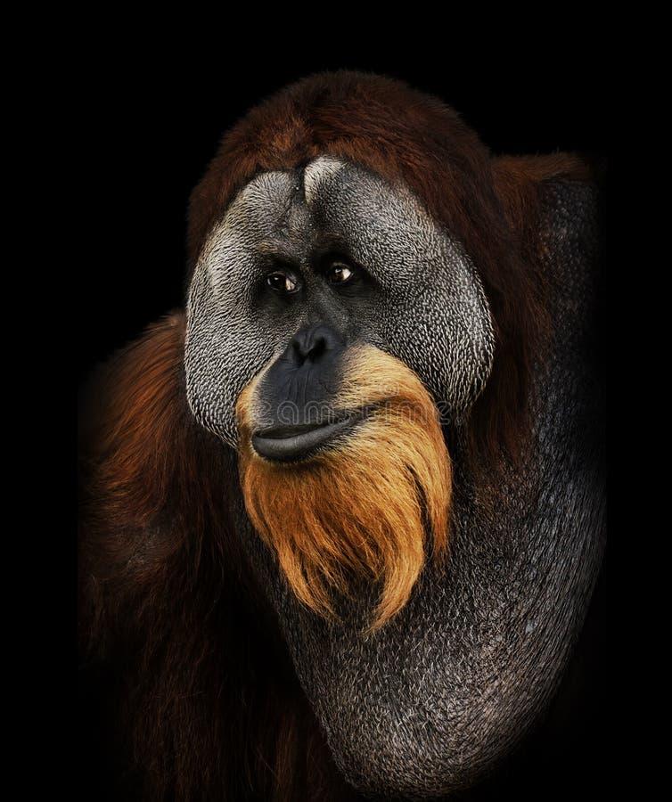Portrait d'orang-outan photographie stock