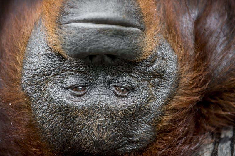 Portrait d'orang-outan photo stock