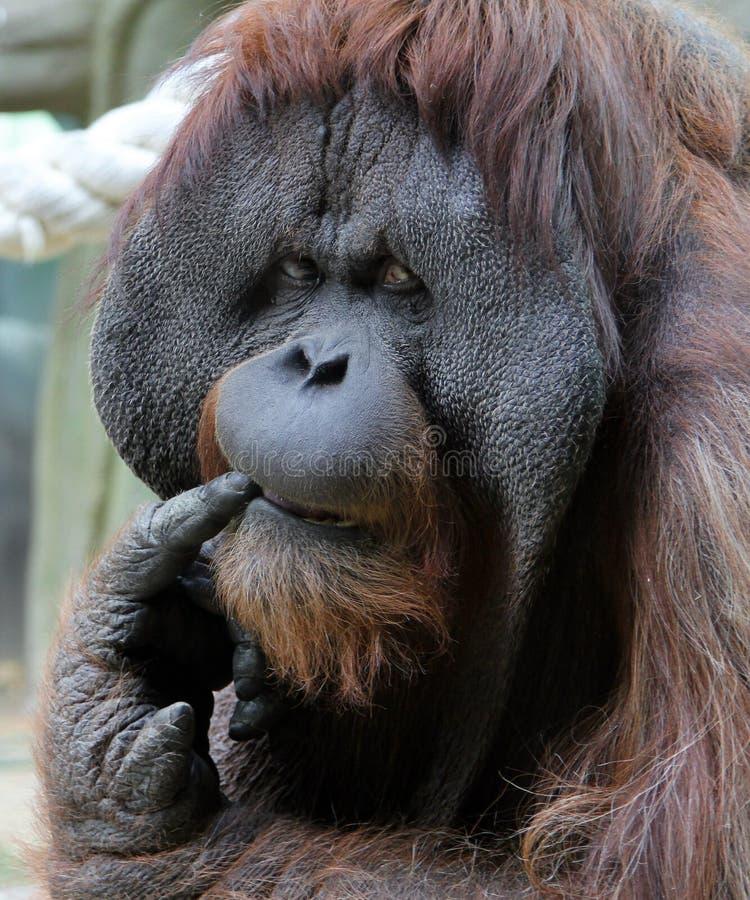 Portrait d'orang-outan de mâle adulte dans le zoo photographie stock libre de droits