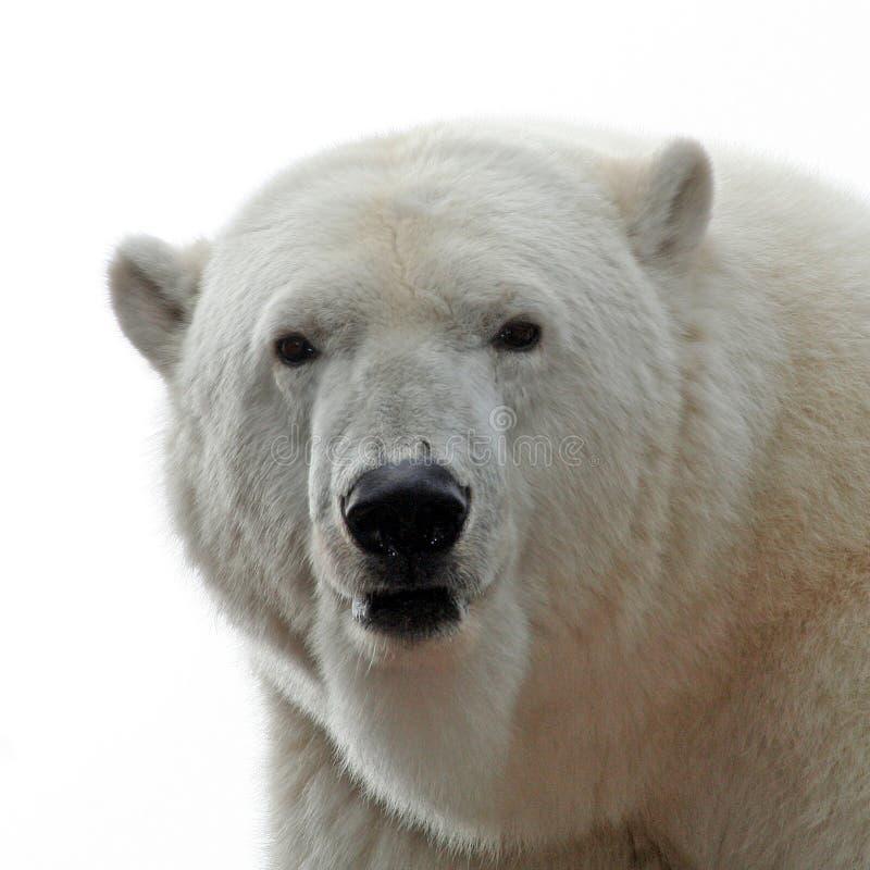 Portrait d'ours blanc photographie stock libre de droits