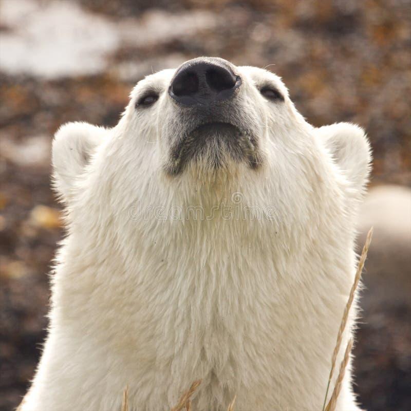 Portrait d'ours blanc de reniflement images libres de droits