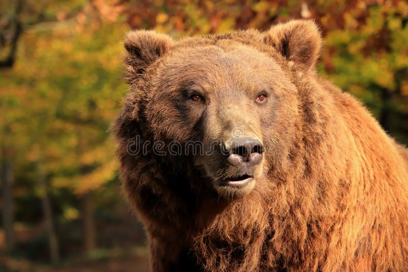 Portrait d'ours dans les bois photographie stock libre de droits