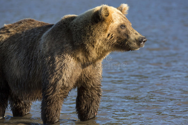 Portrait d'ours de Brown images stock