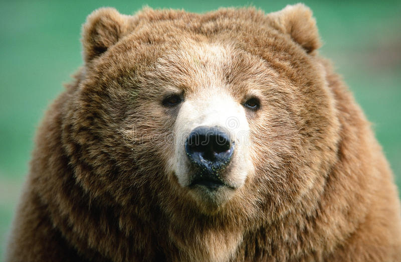Portrait d'ours de Brown de Kodiak de l'Alaska image stock