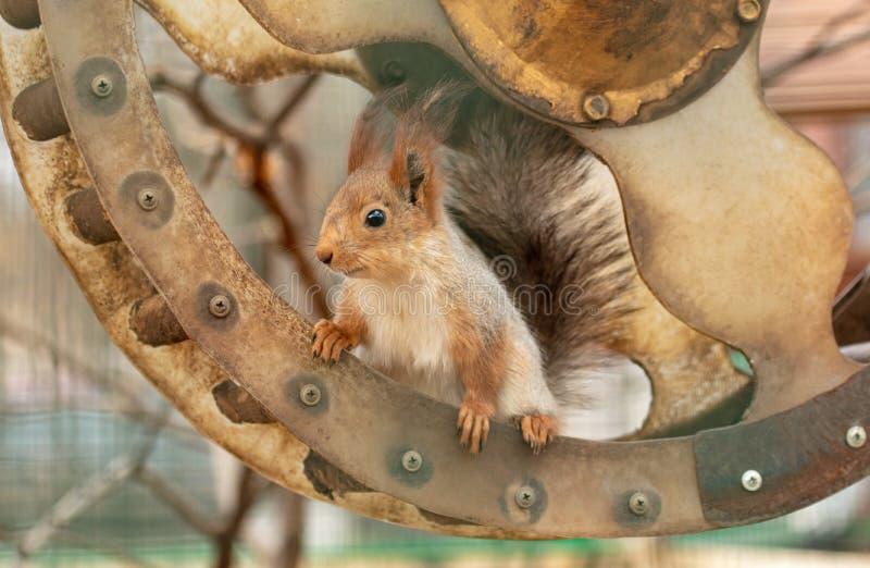 Portrait d'un écureuil dans un zoo images libres de droits