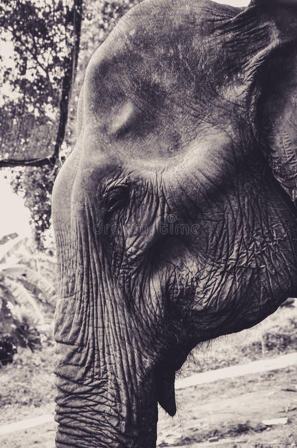 Portrait d'un éléphant en Thaïlande photographie stock libre de droits