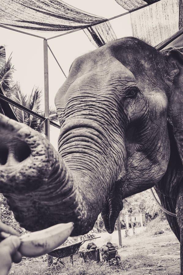 Portrait d'un éléphant qui aime des bananes images libres de droits