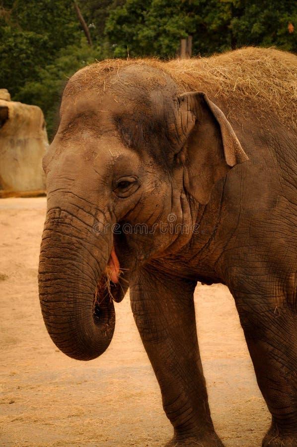 Portrait d'un éléphant qui semble rire photo libre de droits