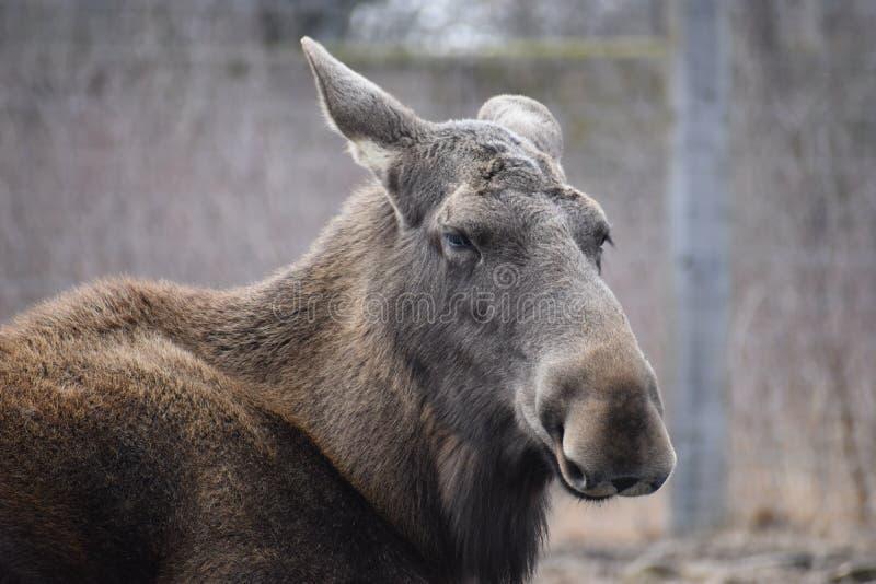 Portrait d'un élan européen brun en parc à Kassel, Allemagne images stock