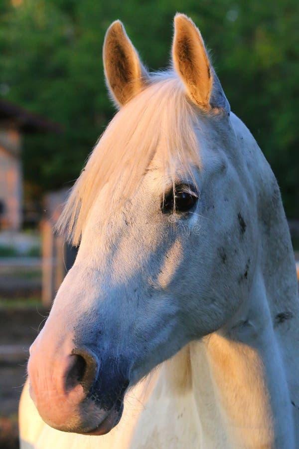 Portrait d'un étalon Arabe gris de race Plan rapproch? d'un jeune cheval de race Cheval Arabe de jeune shagya de race posant à image libre de droits