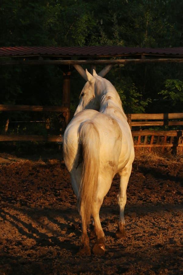 Portrait d'un étalon Arabe gris de race Plan rapproch? d'un jeune cheval de race Cheval Arabe de jeune shagya de race posant à photo libre de droits