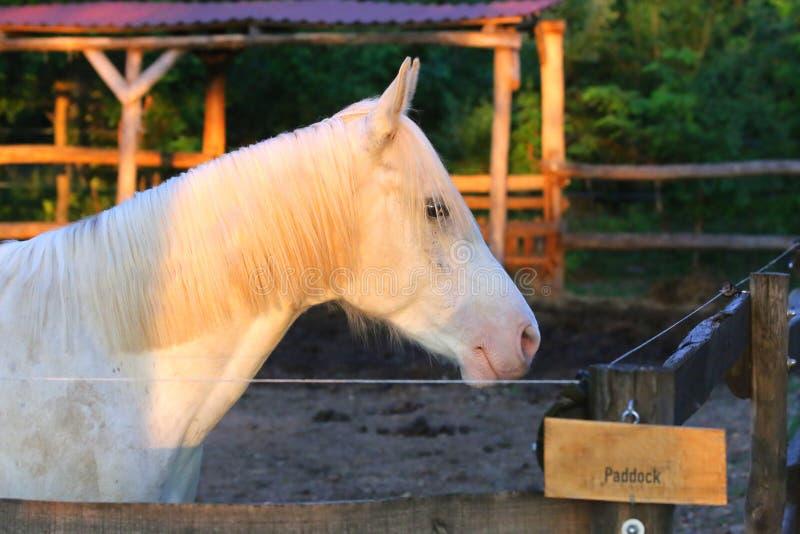 Portrait d'un étalon Arabe gris de race Plan rapproch? d'un jeune cheval de race Cheval Arabe de jeune shagya de race posant à photos libres de droits