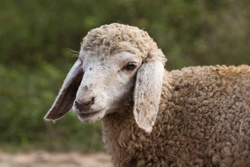 Portrait d'un agneau photographie stock libre de droits