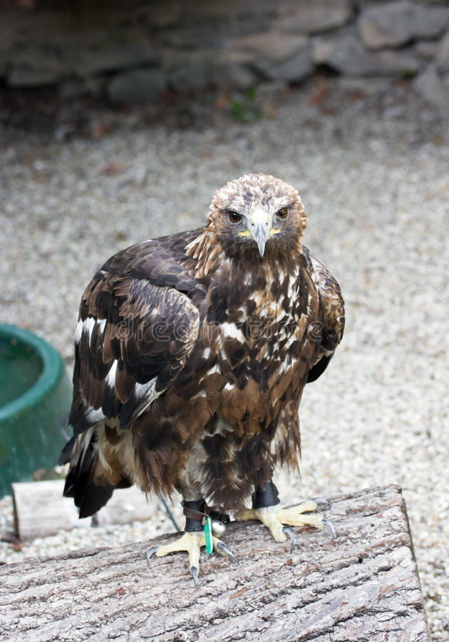 Portrait d'un aigle d'or photos stock
