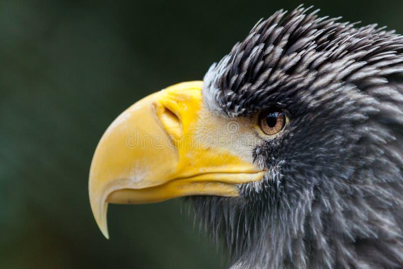 Portrait d'un aigle de mer du ` s de steller images libres de droits