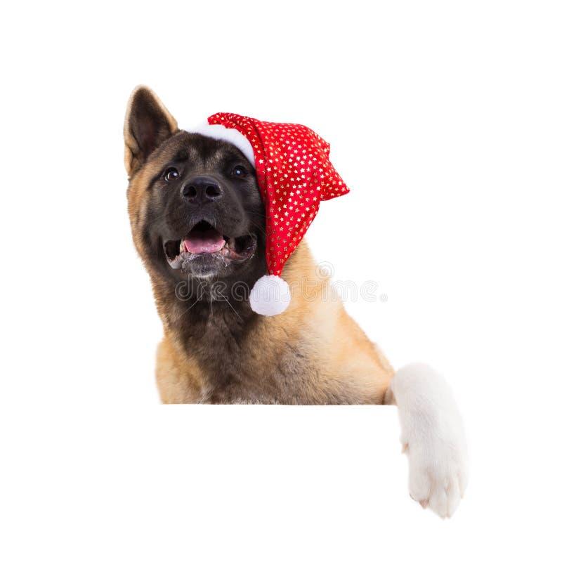 portrait d'un akita américain dans un chapeau de Noël photos libres de droits
