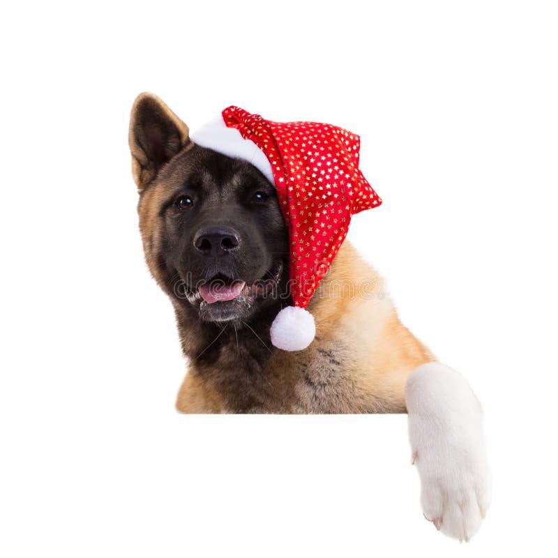 portrait d'un akita américain dans un chapeau de Noël photographie stock