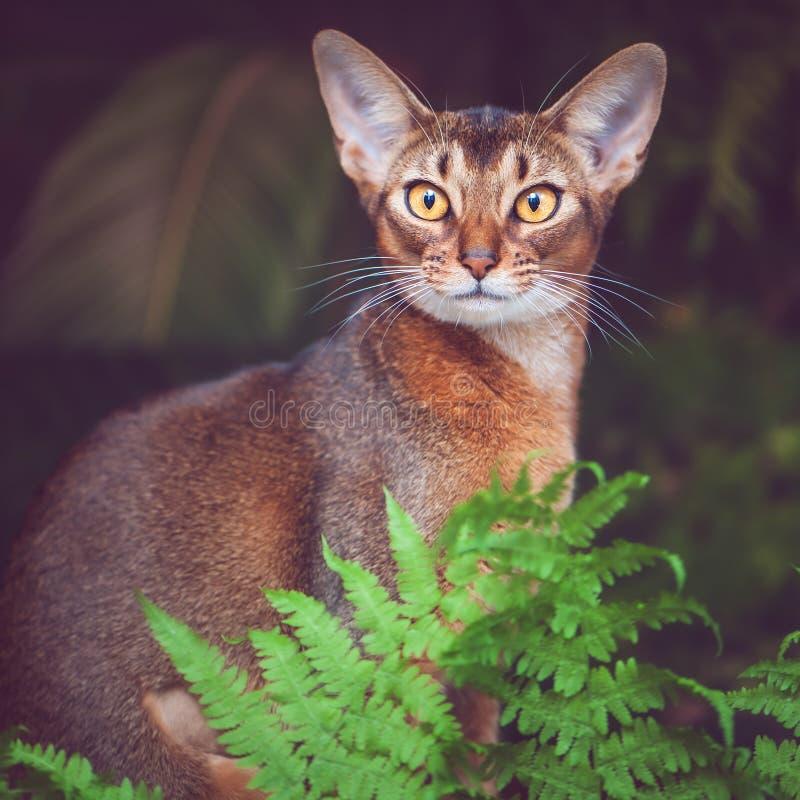 Portrait d'un beau chat abyssinien en conditions naturelles dans la verdure d'une foug?re, comme un pr?dateur, photos stock