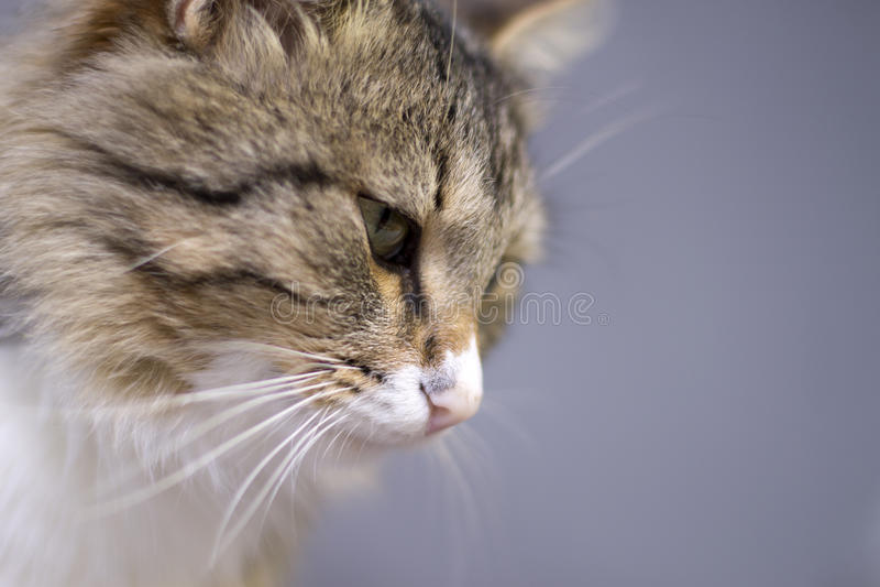 Portrait d'un beau chat mignon pelucheux photographie stock