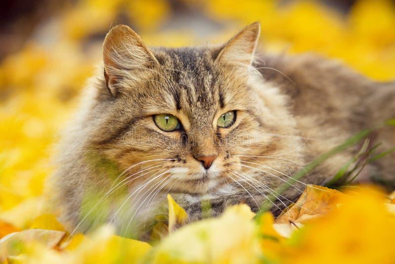 Portrait d'un beau chat pelucheux se trouvant sur le feuillage jaune tombé, animal familier espiègle marchant sur la nature penda photo stock