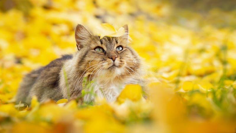 Portrait d'un beau chat pelucheux se trouvant sur le feuillage jaune tombé, animal familier marchant sur la nature pendant l'auto photographie stock libre de droits
