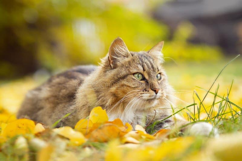Portrait d'un beau chat pelucheux se trouvant sur le feuillage jaune tombé, animal familier marchant sur la nature pendant l'auto photos stock