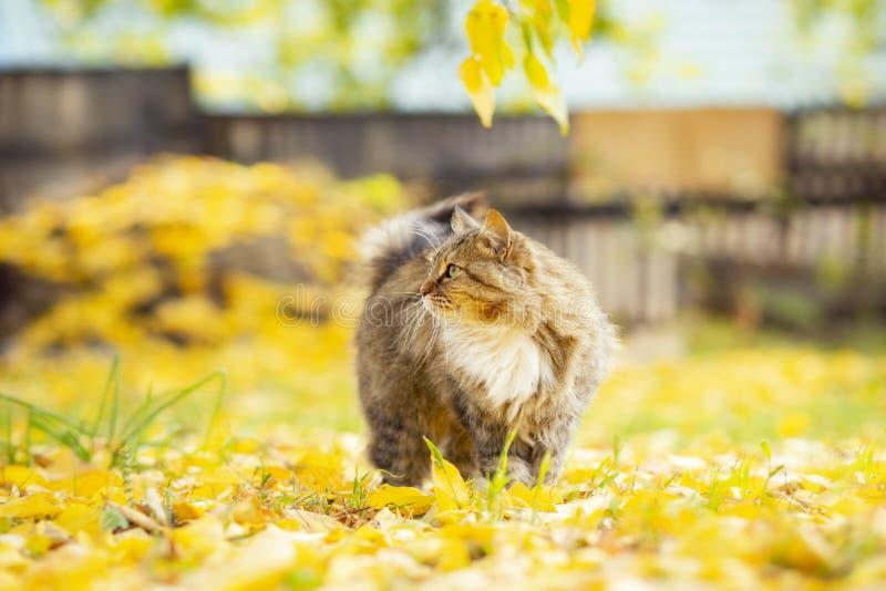Portrait d'un beau chat pelucheux se trouvant sur le feuillage jaune tombé, animal familier marchant sur la nature pendant l'auto images libres de droits