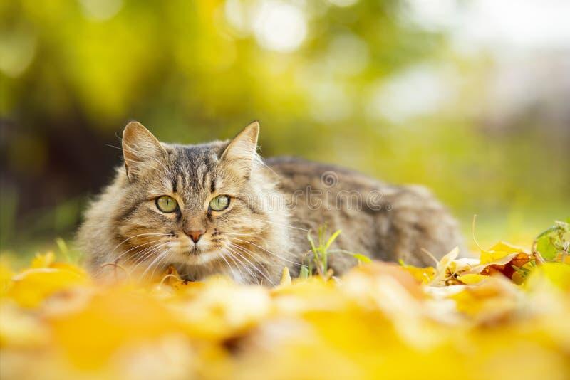 Portrait d'un beau chat pelucheux se trouvant sur le feuillage jaune tombé, animal familier marchant sur la nature pendant l'auto photo libre de droits