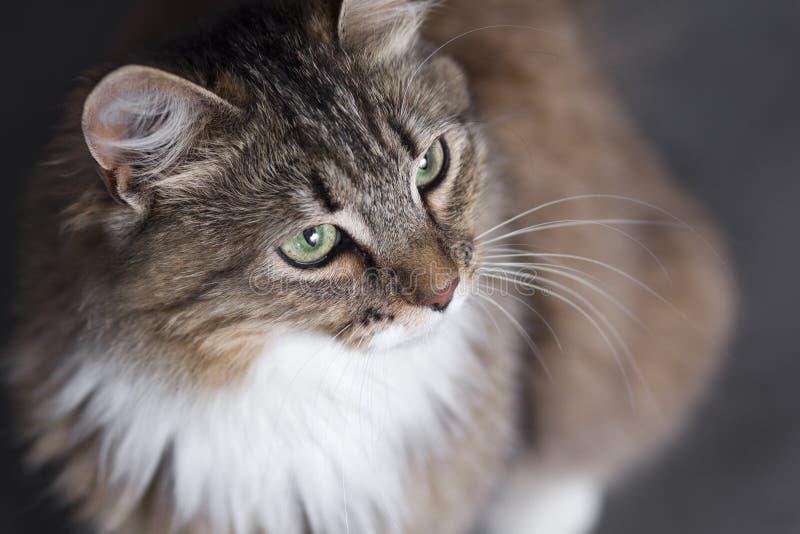 Portrait d'un beau chat pelucheux sur un fond noir avec un courbe image libre de droits