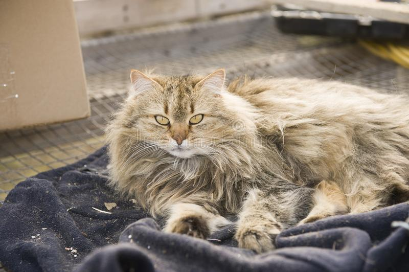 Portrait d'un beau chat sibérien pelucheux brun photo stock