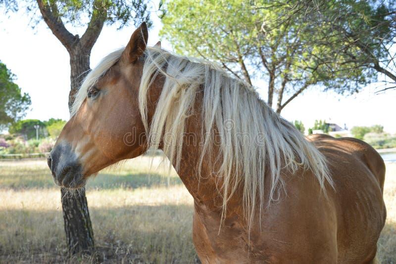 Portrait d'un beau cheval blond images libres de droits