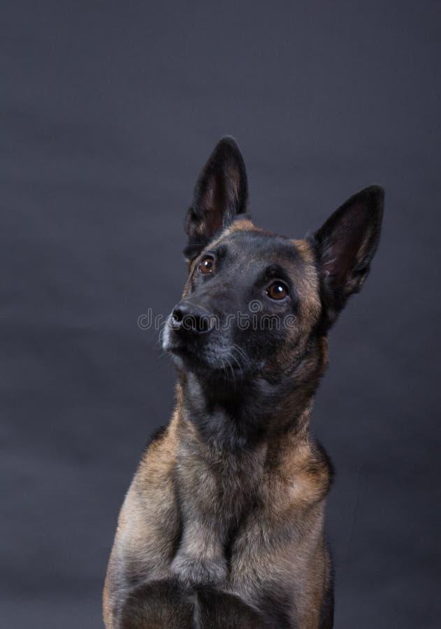 Portrait d'un beau chien de malinois photos libres de droits