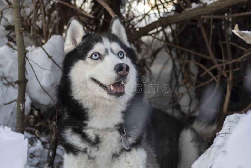 Portrait d'un beau chien enroué sibérien de sourire observé par bleu avec la langue collant, fond de forêt d'hiver avec l'esp photo libre de droits