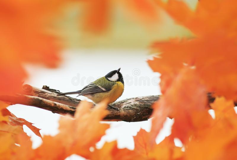 Portrait d'un beau petit oiseau que la mésange bleue se repose dans t images stock