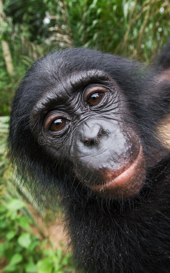Portrait d'un bonobo de bébé Le Republic Of The Congo Democratic Parc national de BONOBO de Lola Ya photo stock