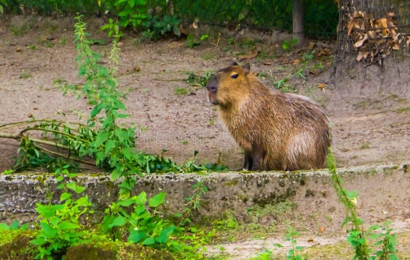 Portrait d'un capybara, la plus grande espèce de cavie du monde, rongeur tropical d'Amérique du Sud images stock