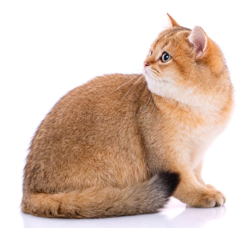 Portrait d'un chat écossais droit aux cheveux lisses sur un blanc image libre de droits