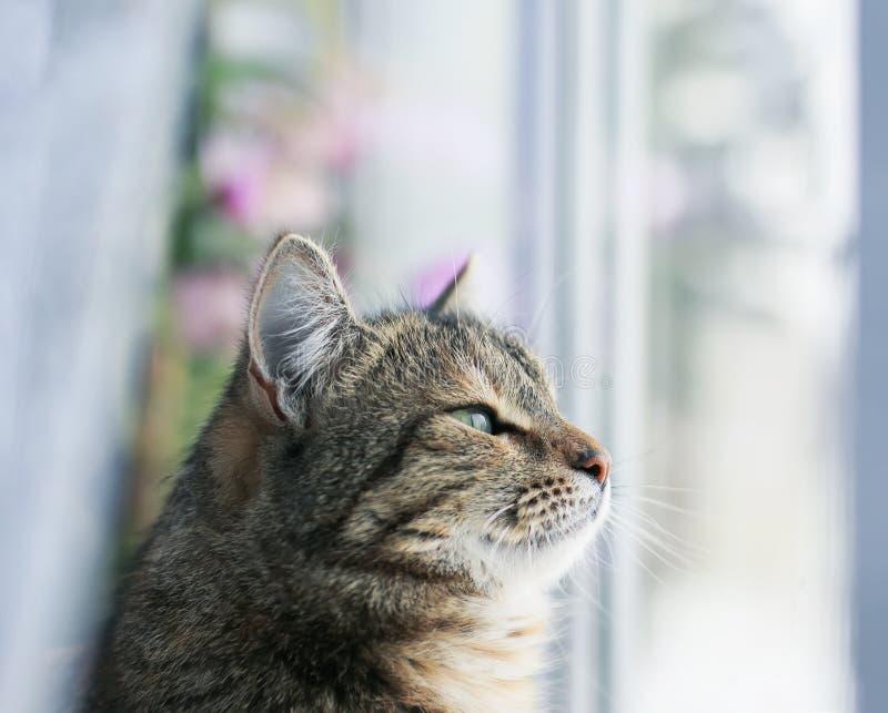 Portrait d'un chat énervé mignon se reposant sur une fenêtre entourée par Tulle blanc et extérieur de regard rêveur images libres de droits