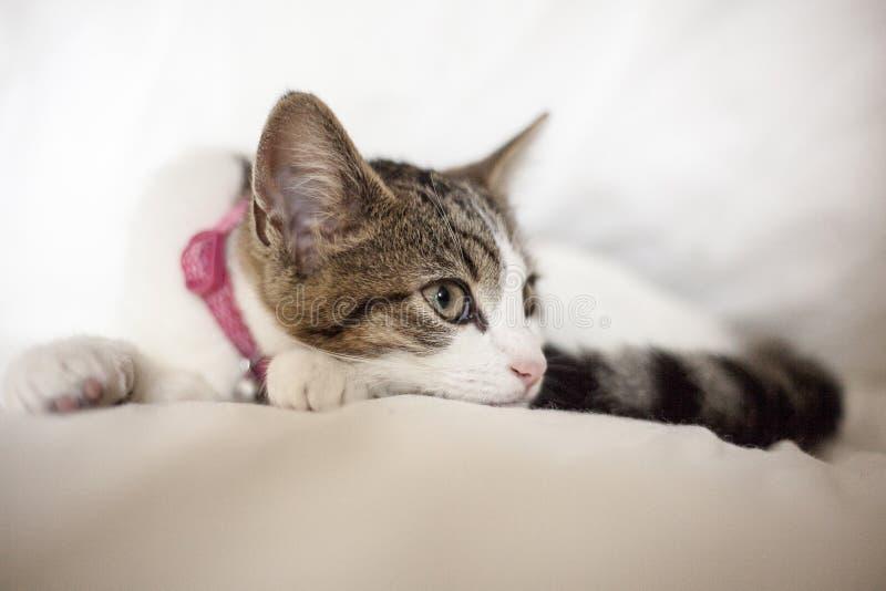 Portrait d'un chat image libre de droits