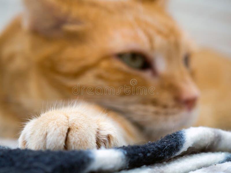 Portrait d'un chat domestique photo stock