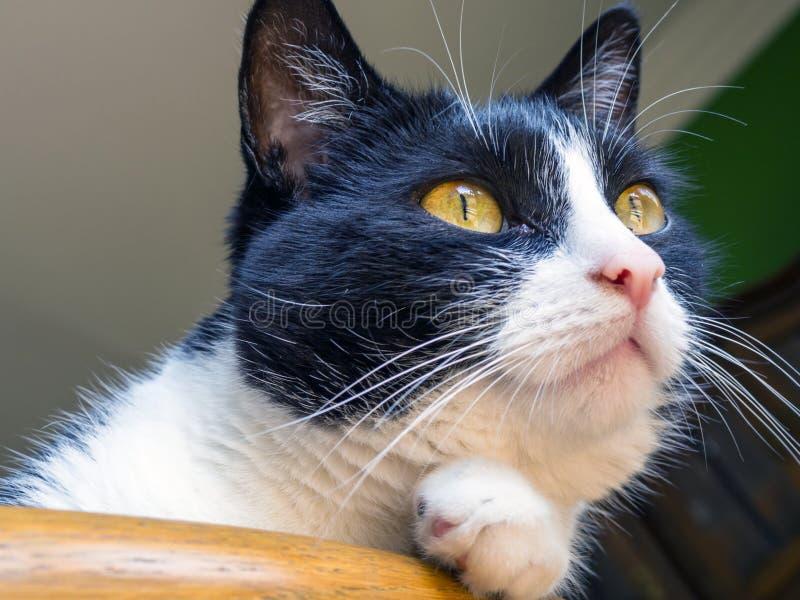 Portrait d'un chat domestique photo libre de droits