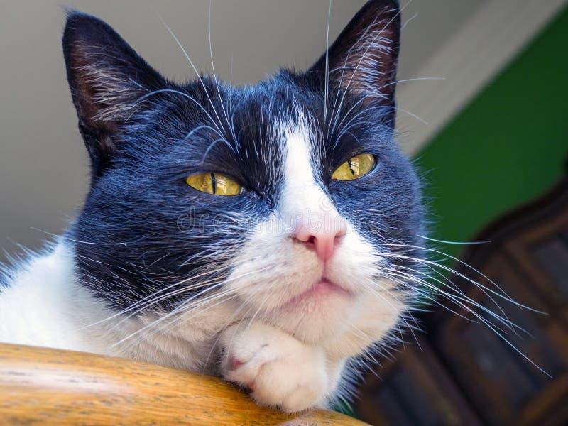 Portrait d'un chat domestique photos libres de droits